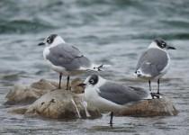 Franklins-Gulls-Bow-River
