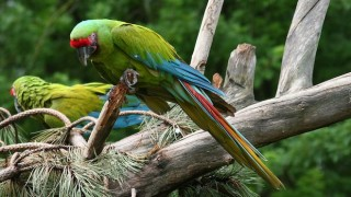 Great Green Macaw photographed at a zoo in Austria by Alois Staudacher (Wikimedia Commons).