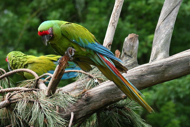 Symposium at Selva Verde will focus on endangered macaw
