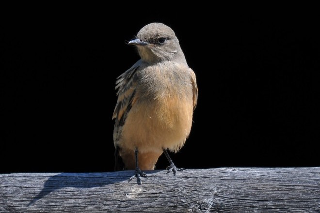 Kenn Kaufman: How Say's Phoebe got its name