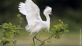 Snowy Egret by Greg Lavaty.