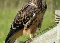 Swainsons-Hawk-juvenile-Longview