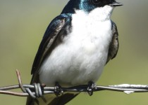 Tree-Swallow-Near-Millarville