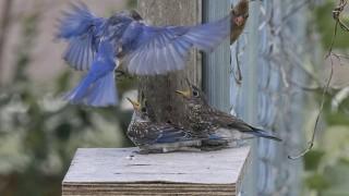 baby-bluebirds-july-2016-61