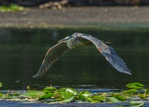 great_blue_heron_flyby_michael_rossacci
