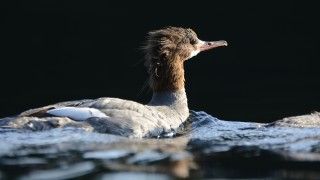 merganser4-small