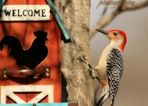 woodpecker-welcome