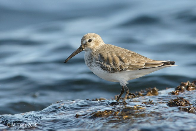 eBird Maps show where to find Dunlin this October