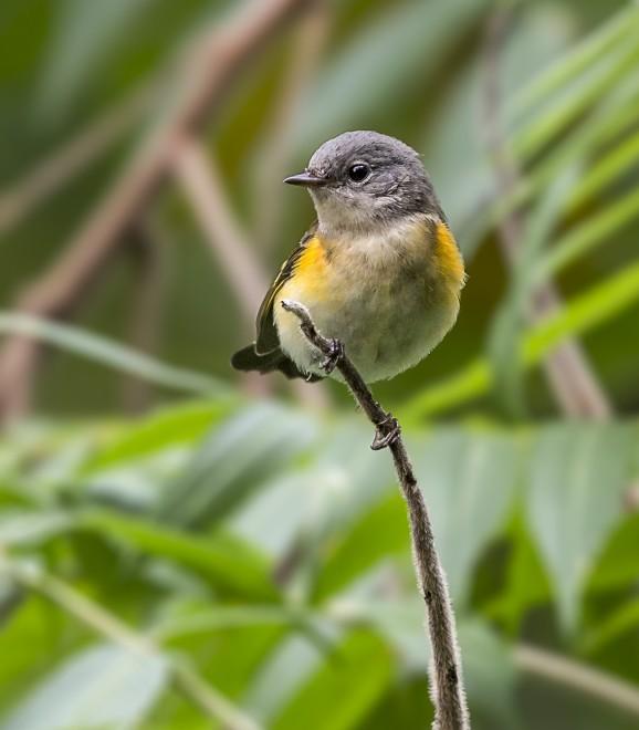 American-Redstart.juvenilemale.Billm