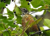American-Robin-Inglewood-Bird-Santuary-1