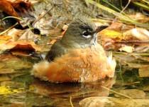 American-Robin-Inglewood-Bird-Santuary-2