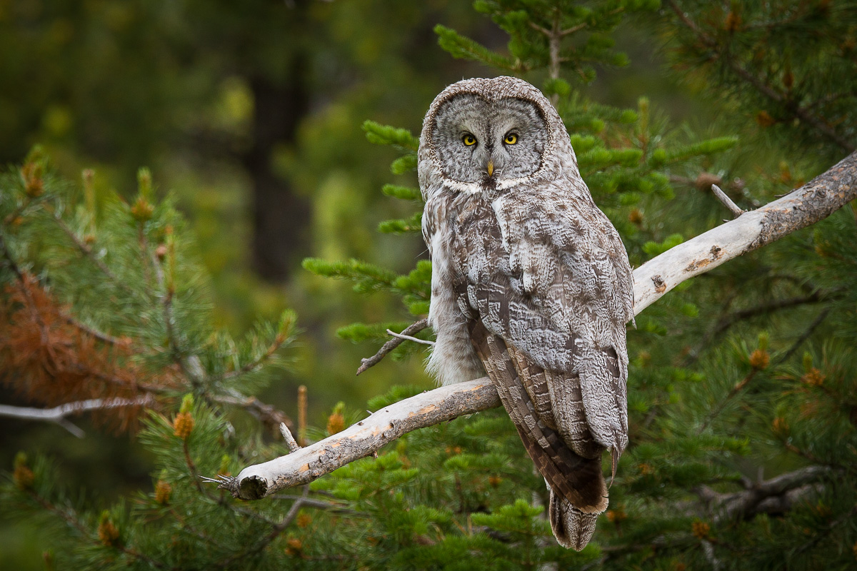 Great Gray Owl - BirdWatching