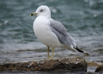 Ring-billed-Gull-Bow-River