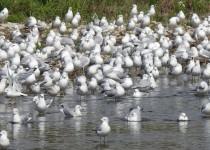 Ring-billed-Gull-Carseland