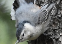 White-breasted-Nuthatch-Fish-Cr-Pk-1