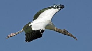 Wood Stork  over Wakodahatchee Wetlands, Delray Beach, Florida, by snooked.
