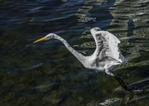 fixed-egret-1