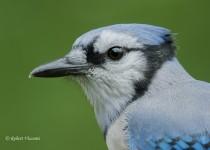 flickr-Blue-Jay-DSC_7279