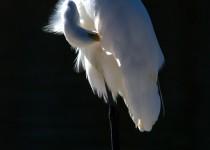 preening-egret