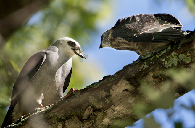 Mississippi Kite is now breeding in the Badger State