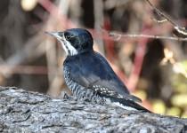 Black-backed-Woodpecker-Fish-Cr-Pk-1