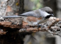 Boreal-Chickadee-Fish-Cr-Pk