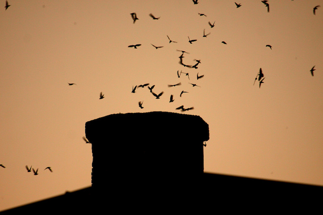 How tiny Vaux's Swifts create a giant annual spectacle