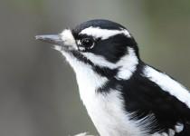 Downy-Woodpecker-Fish-Cr-Pk