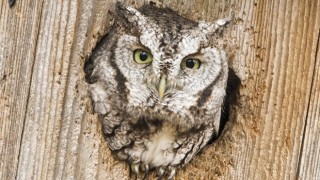 eastern-screech-owl-entrance_660x440