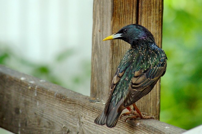 How feather wear gives starlings and other birds their snazziest plumage