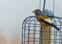 EveningGrosbeak1forweb