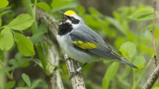 Golden-winged Warbler in northern New Jersey, by Jeffrey Crawn.