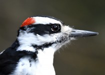 Hairy-Woodpecker-Fish-Cr-Pk