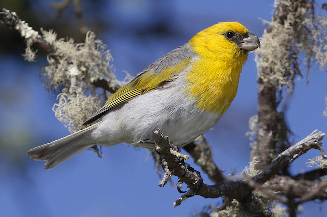 Hawaii's new forest trail lets birders discover the endangered Palila