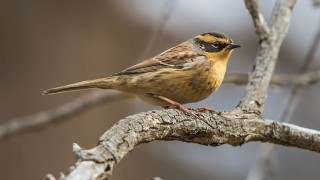 Siberian Accentor at Manzushir Monastery, Mongolia, October 5, 2014, by Jargal Lamjav (Wikimedia Commons).
