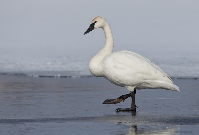 eBird maps show where to find Trumpeter Swan this December