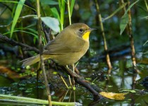 common_yellowthroat-0199