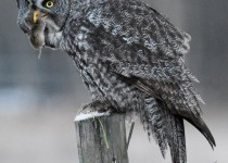 Great-Gray-Owl-with-Field-Vole-near-Turner-Valley