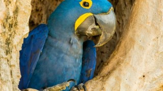 Hyacinth Macaw in Mato Grosso, Brazil, by Nancy Norman.