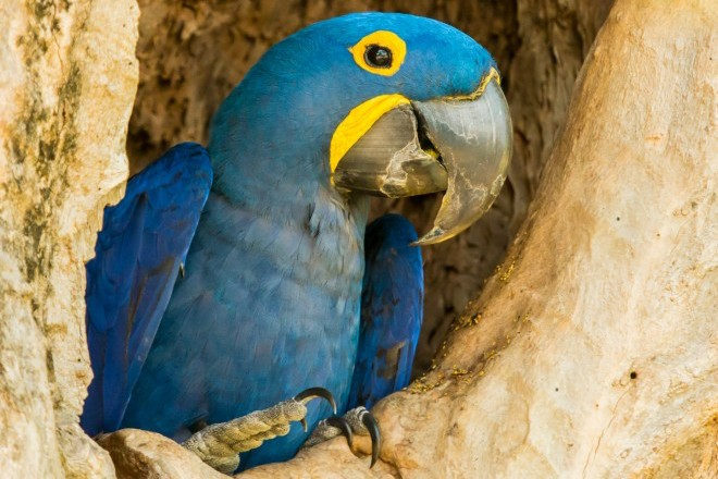 Hyacinth Macaw proposed for Endangered Species Act protection