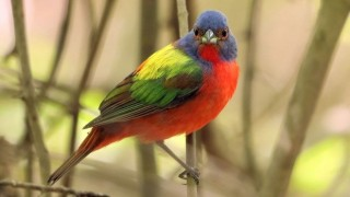 painted-bunting-both-eyes_660x440