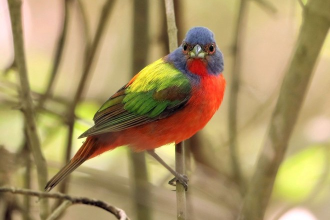 Five photos of beautiful, unpredictable Painted Bunting