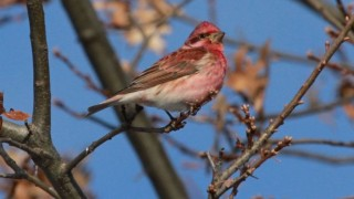 purple-finch_660x440