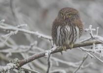 Pygmy-Owl-374