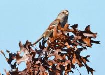 amtreesparrow9120-copy