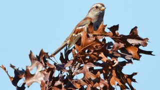 amtreesparrow9120-copy