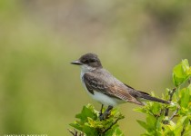 eastern_kingbird-0561