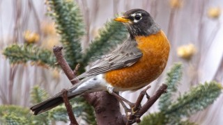 American Robin in Michigan, February 4, 2013, by Sharon Sauriol.
