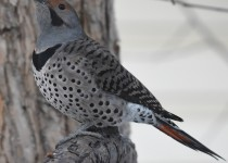 Northen-Flicker-intergrade-Calgary
