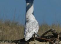 Owl-Snowy-113013-NC-a2